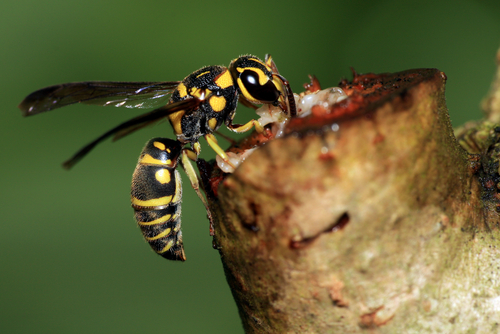 wasp venom breast cancer