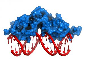 Insights into DNA Remodeling Complex May Lead to Novel Breast Cancer Therapies