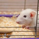 Breast-cancer mouse model and vaccine
